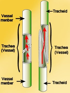 vessel element