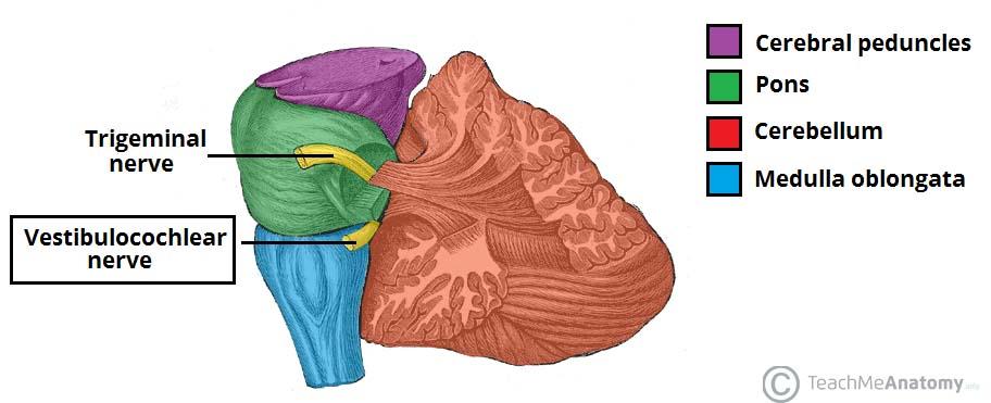 vestibulocochlear nerve