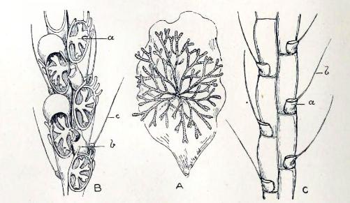 vibraculum