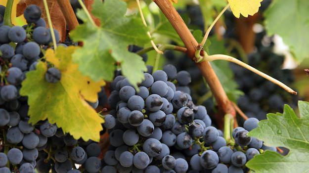 vinedresser