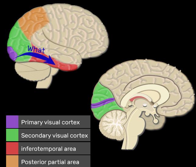 visual area