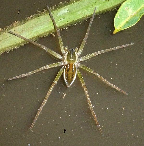 water spider
