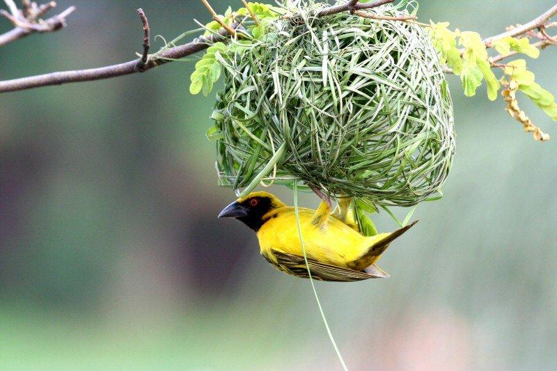weaverbird