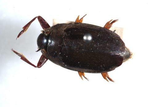 whirligig beetle