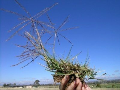 windmill grass