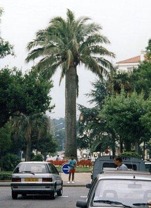 wine palm