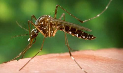 yellow-fever mosquito