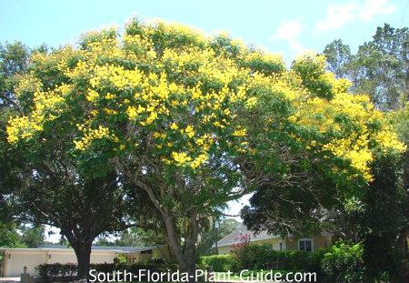yellow poinciana
