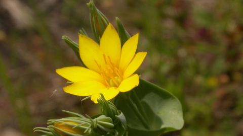 yellowwort