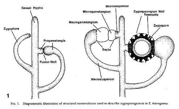 zygophore
