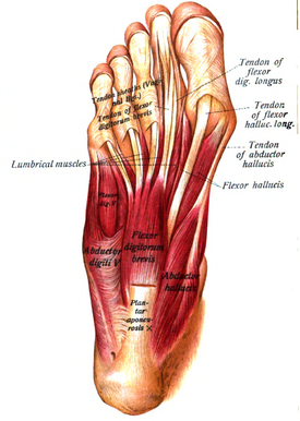 abductor muscle of big toe