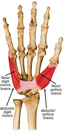 abductor muscle of little finger