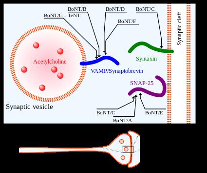 botulinus toxin
