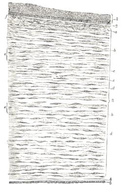 Bowman's membrane