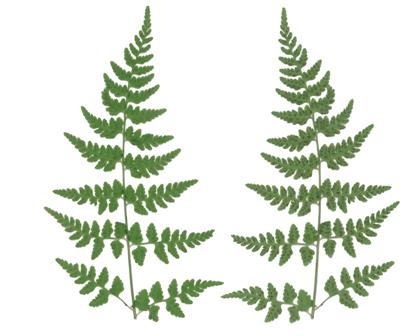 brittle fern