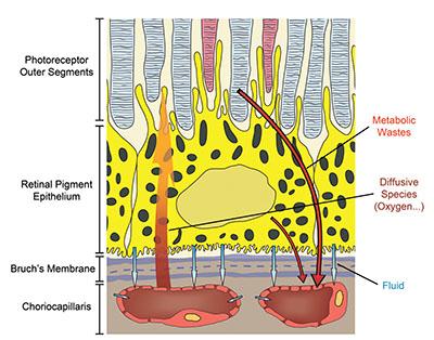 choriocapillaris