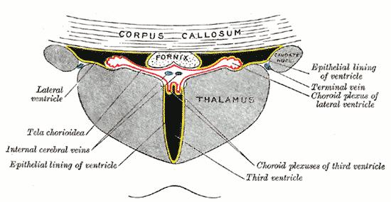 choroidea