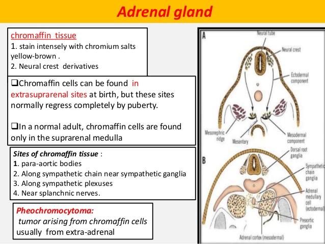 chromaffin tissue