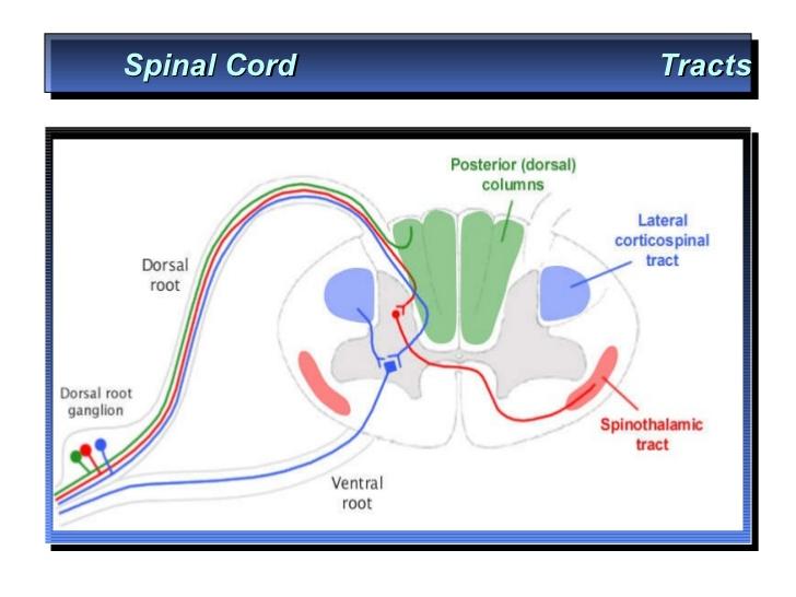 dorsal column of spinal cord