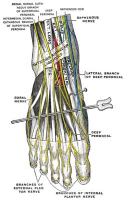 dorsal digital nerve