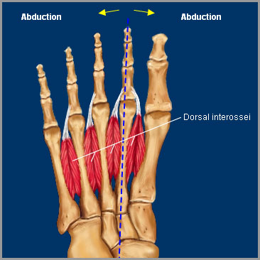 dorsal interosseous muscle of foot