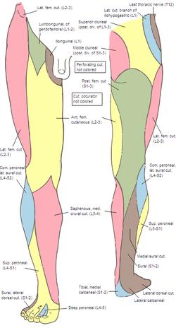 dorsal lateral cutaneous nerve