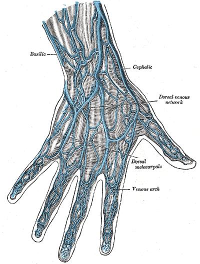 dorsal metacarpal vein