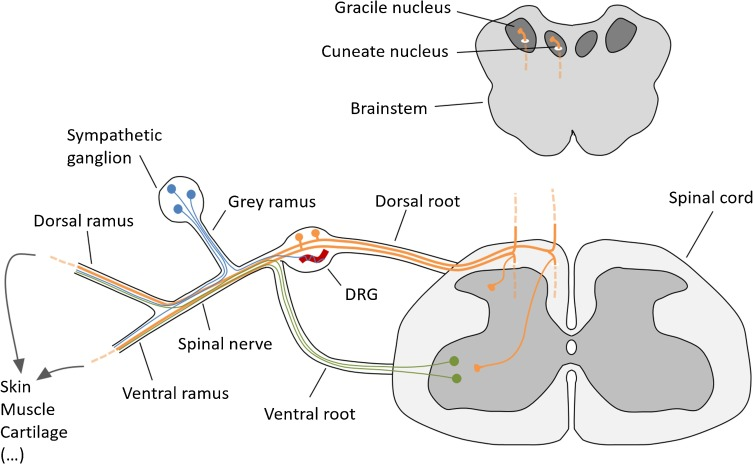dorsal root ganglion - Liberal Dictionary
