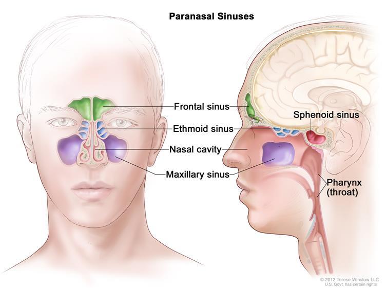 ethmoidal sinus