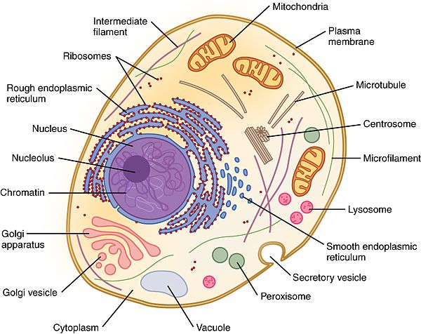 eucaryote