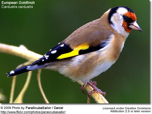 European finch