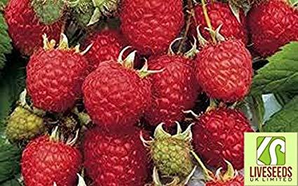 European raspberry