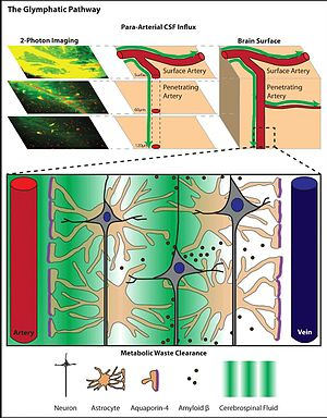 glymphatic system