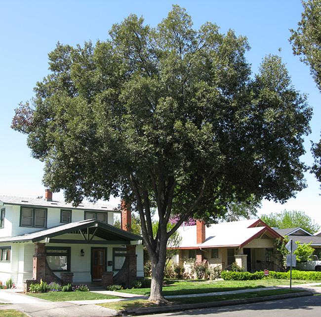 holly oak