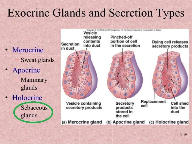 holocrine gland