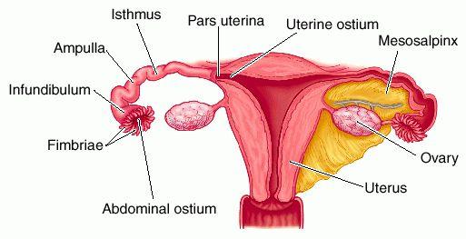 isthmus of uterine tube