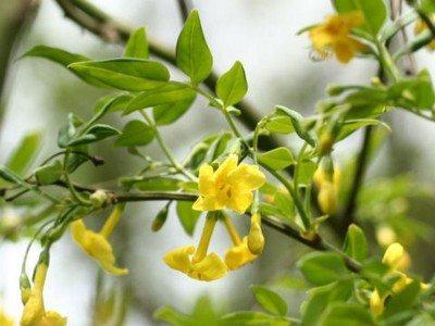 Italian jasmine