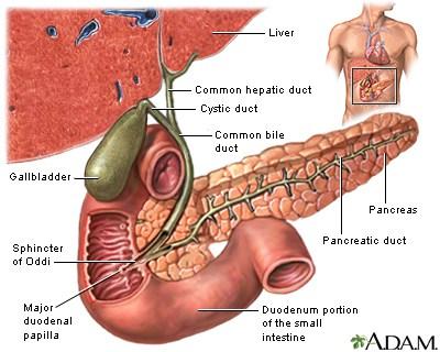 major duodenal papilla