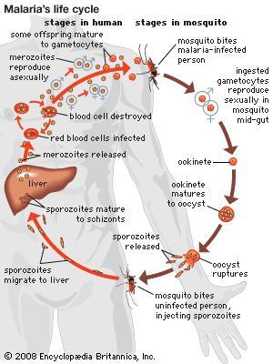 malarial