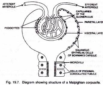 malpighian corpuscle