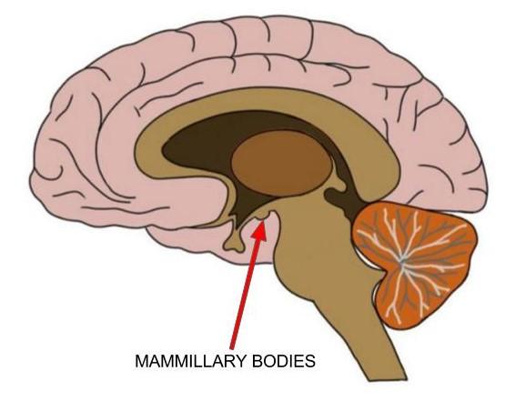 mammillary