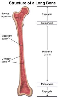 medullary cavity