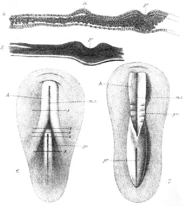 medullary groove