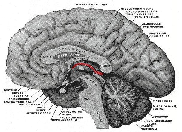 medullary stria of thalamus