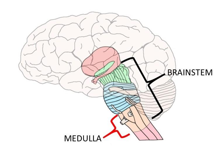 medullary