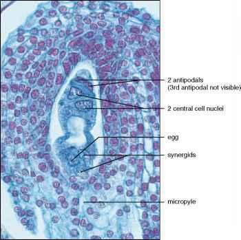 megasporocyte