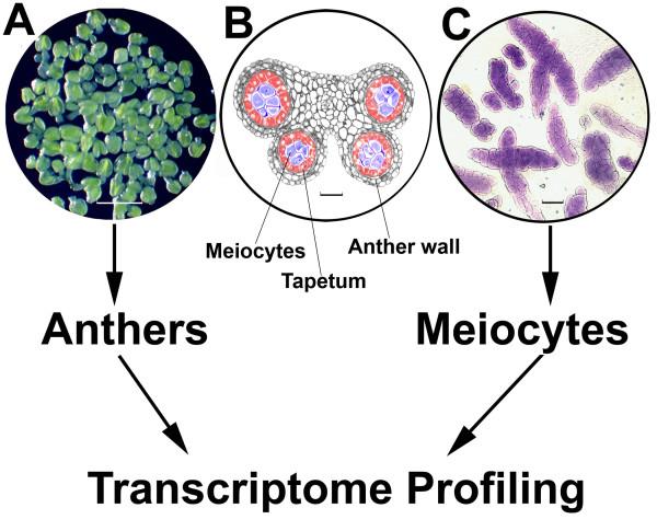 meiocyte