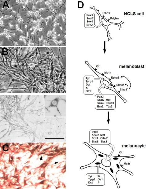 melanoblast
