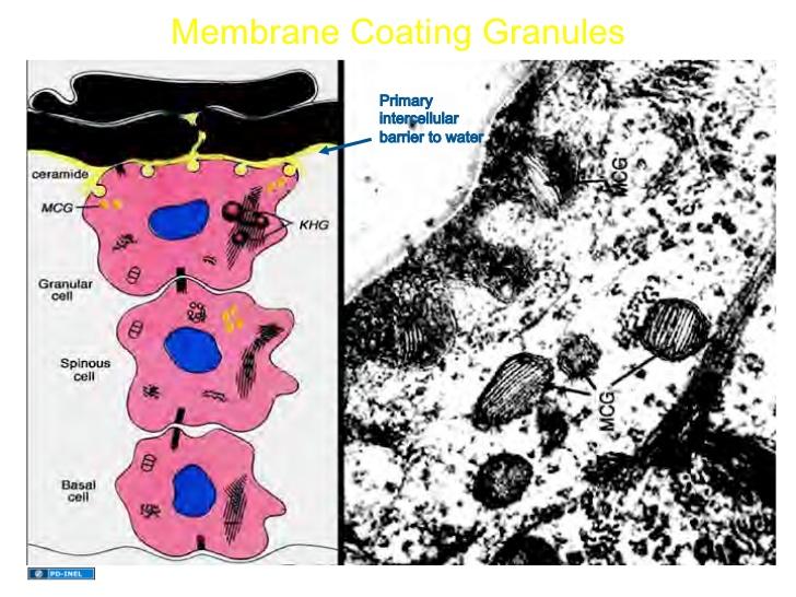 membrane-coating granule