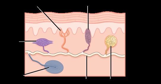 merkel's corpuscle